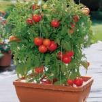 orto-sul_-balcone-pomodori