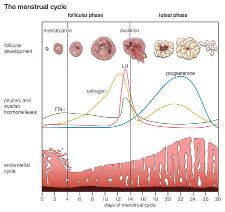 rimanere-incinta-fase-luteinica-e-ormoni