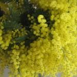 mimosa-invacanzadaunavita