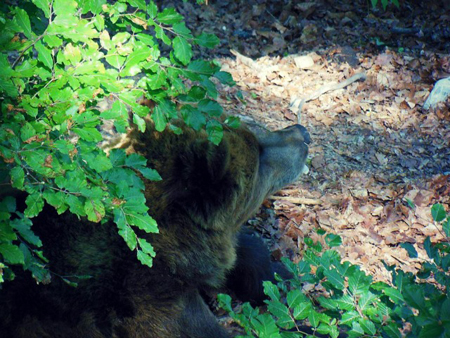 orso_parcospormaggiore