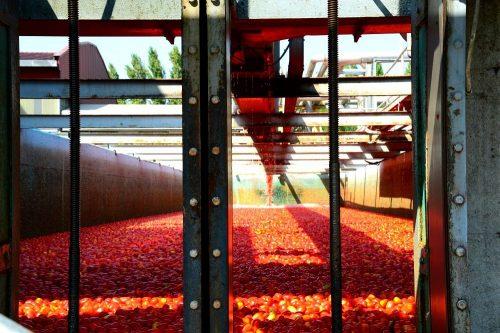 ortolina_120 anni di storia tra tradizione e innovazione _lavorazione pomodori