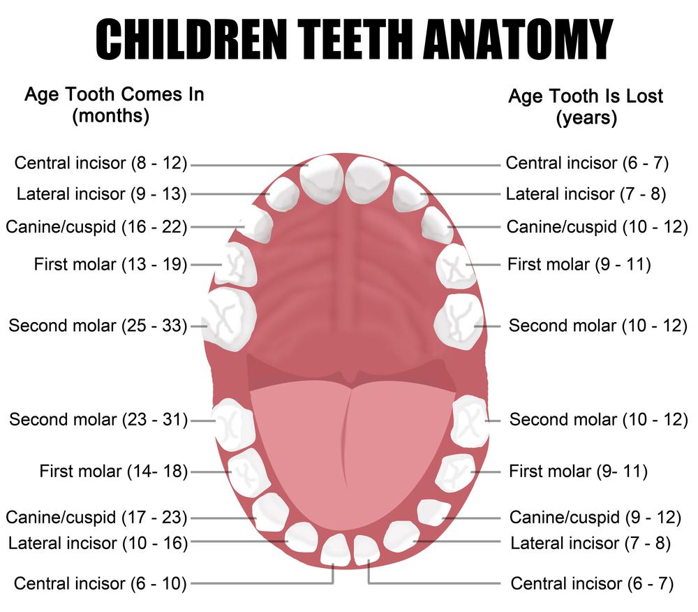 Come lavare i denti ai bambini_anatomia