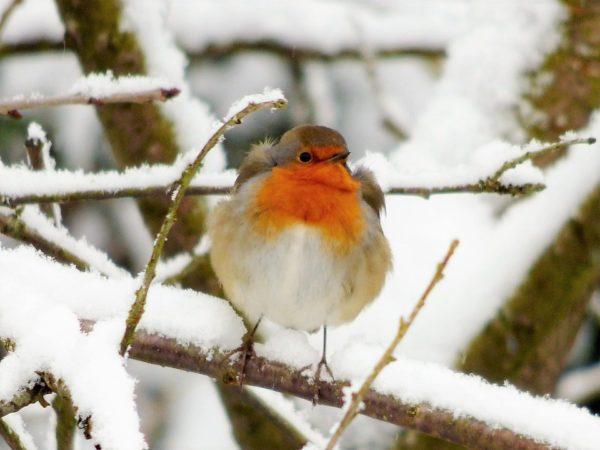 storie di Natale leggenda del pettirosso