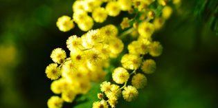 Cinque alternative alla mimosa da regalare per la festa della donna