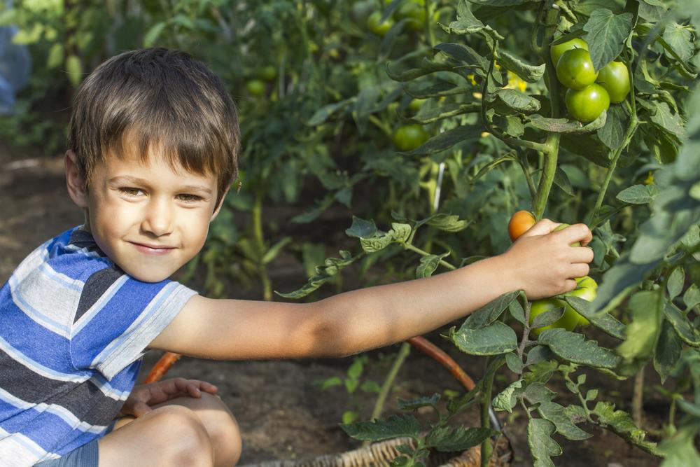 Bambino che raccoglie pomodori
