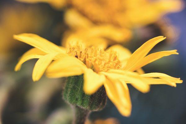 arica montana fiore